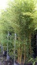 Aureosulcata Aureocaulis