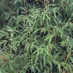 Aureosulcata Spectabilis
