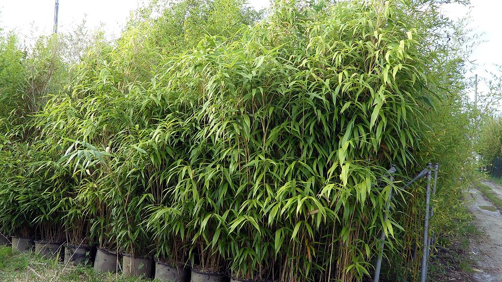 Bambusa vivai piante ghelli mario pistoia bamboo phormium - Canne bambu in vaso ...