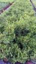Pigmea Tricuspidata